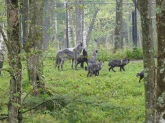 Loups noirs