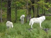 Loups de l'Arctique