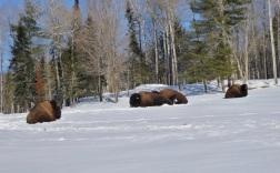 Les bisons