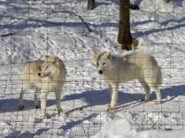 Les loups arctiques