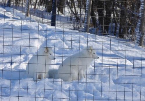 Trop choux les renards polaires