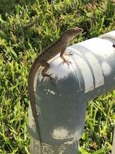 Je n'ai jamais autant vu de lézards, geikos et iguanes de ma vie